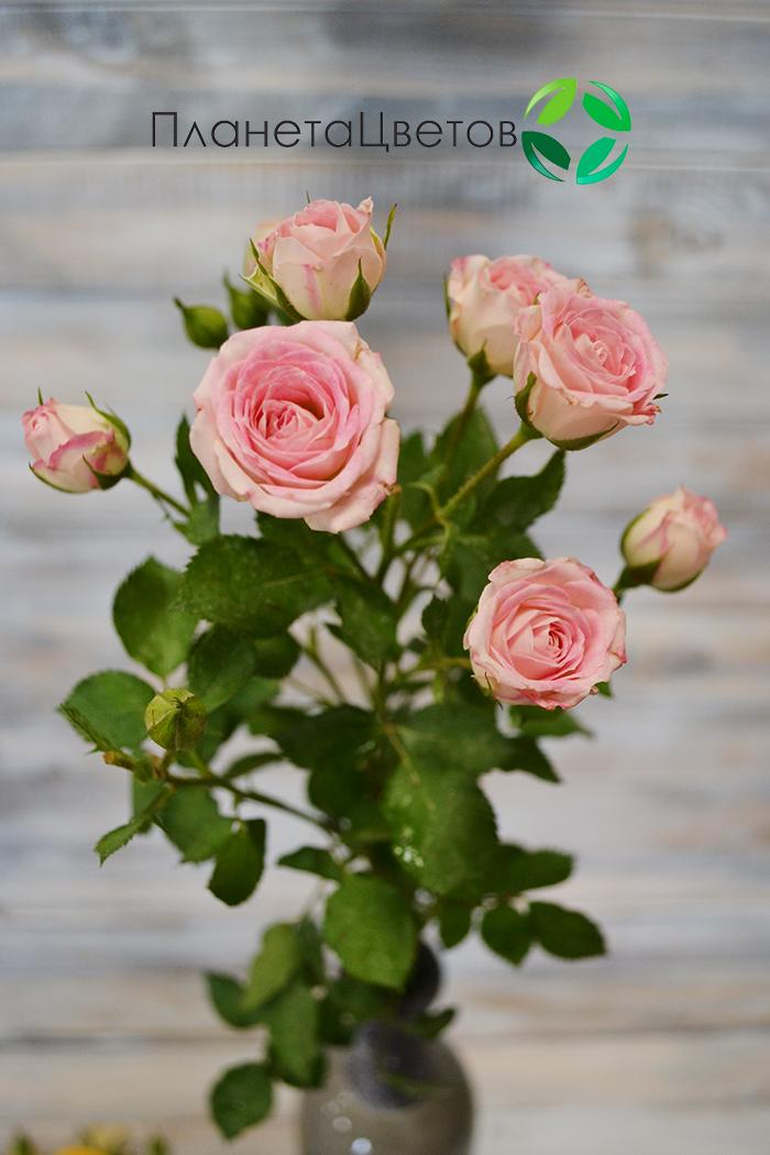 Роза кустовая Грация