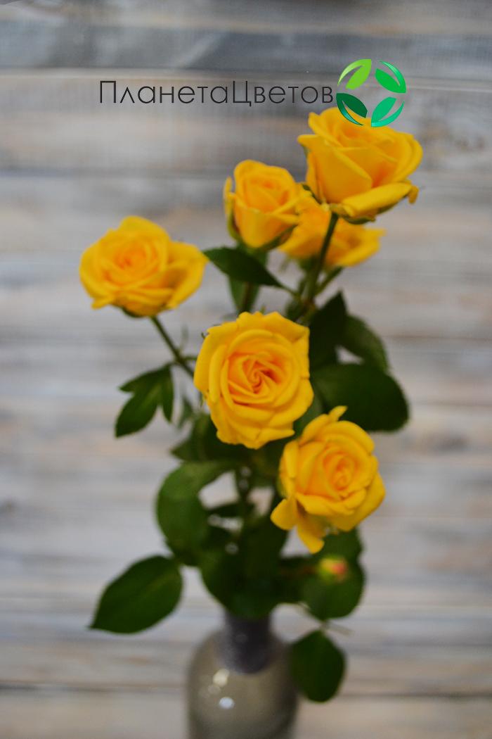 Роза пионовидная Шанни