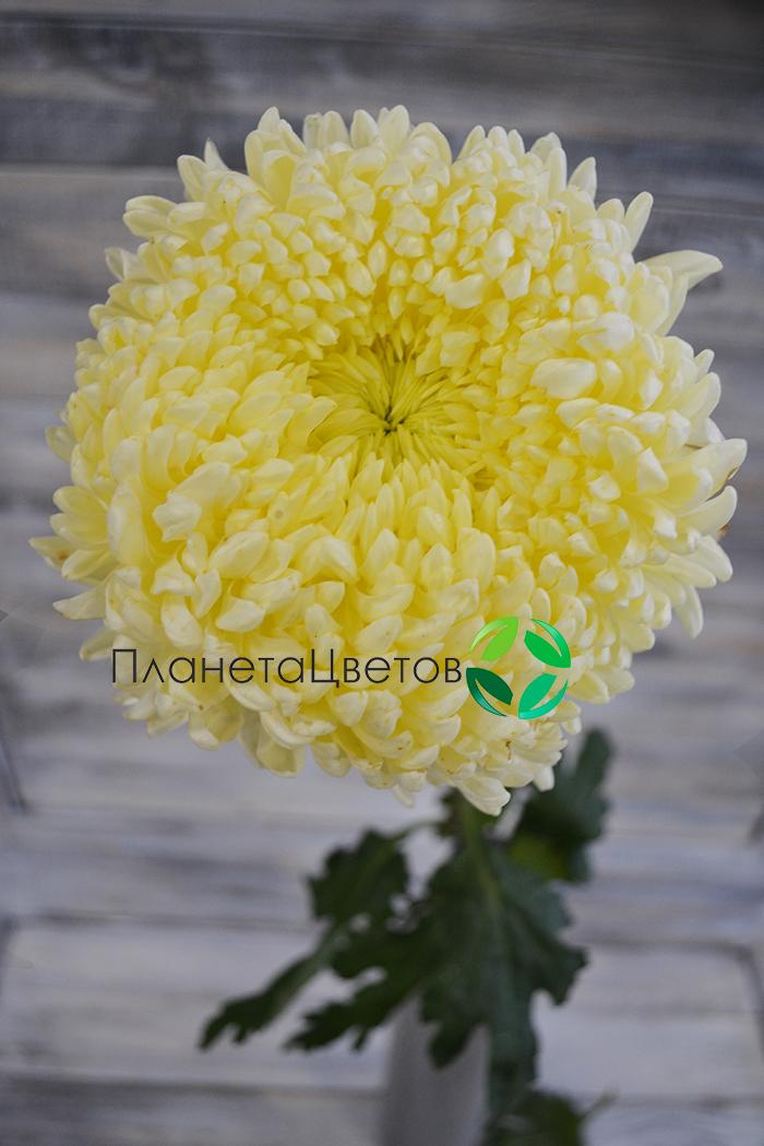 Хризантема одноголовая Шуесмит