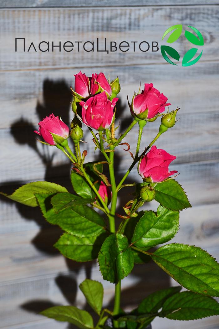 Роза кустовая Лавли Лидия