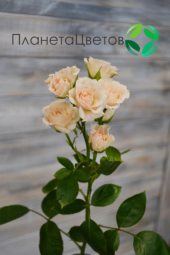 Роза кустовая Яна