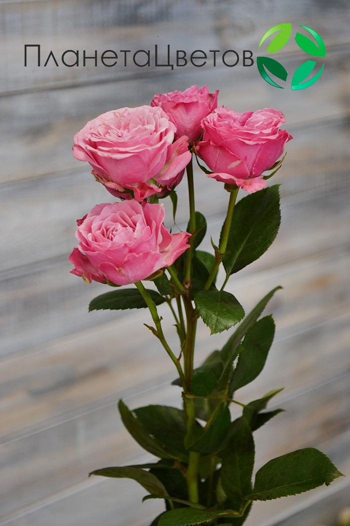 Роза кустовая Леди бомбастик