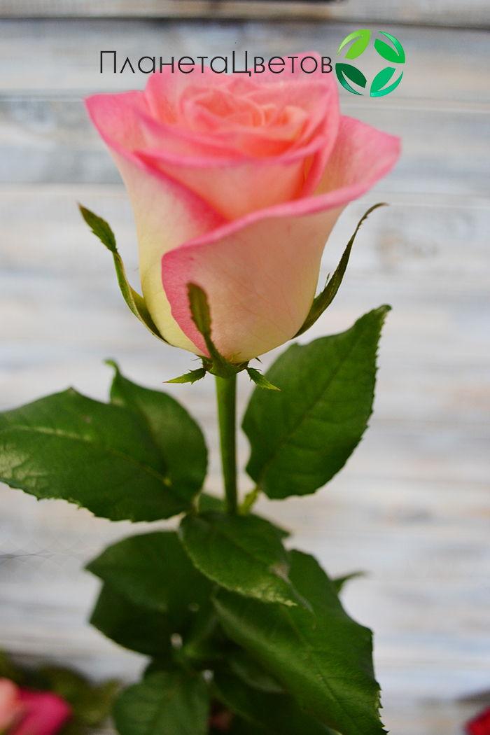 Роза Латин Леди