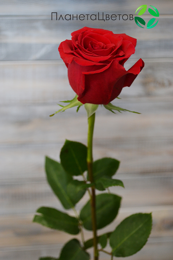 Роза Фридом