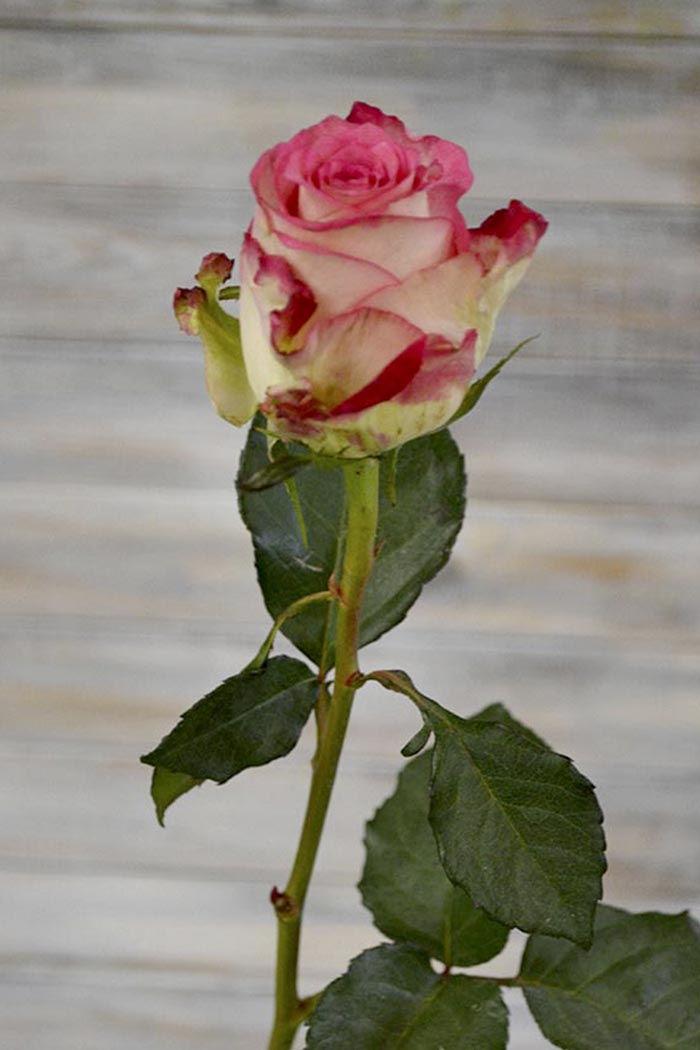 Роза Джулия