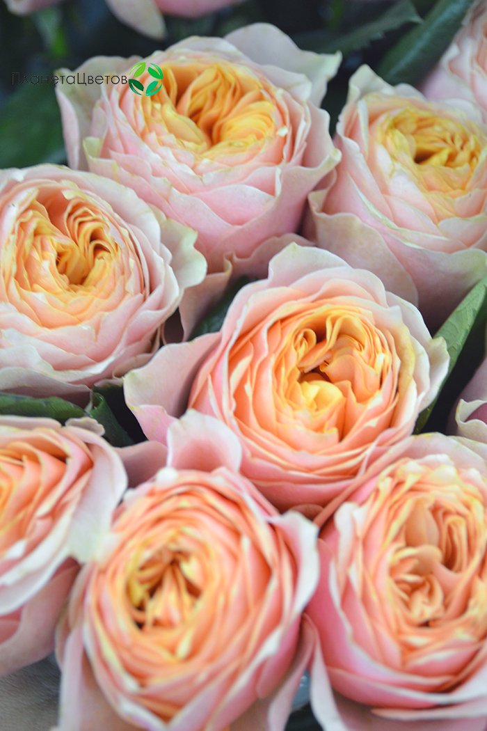 Роза пионовидная вувузела