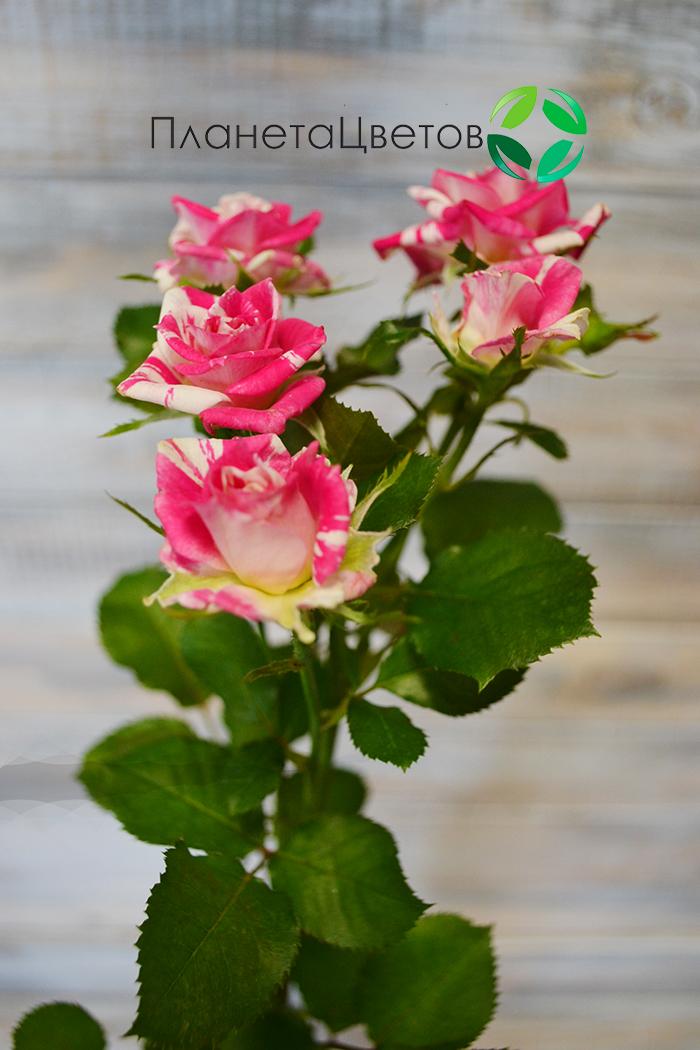 Роза кустовая Фаерворкс
