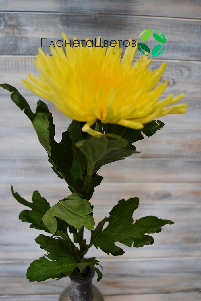 Хризантема одноголовая Анастасия