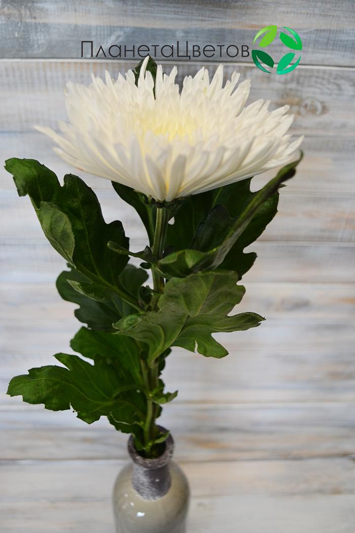 Хризантема одноголовая Анастасия белая