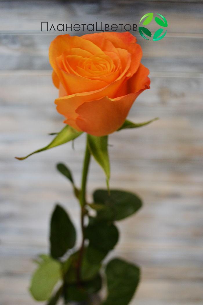 Роза Конфедициаль