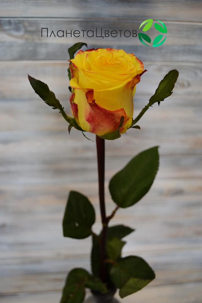 Роза Кнокс
