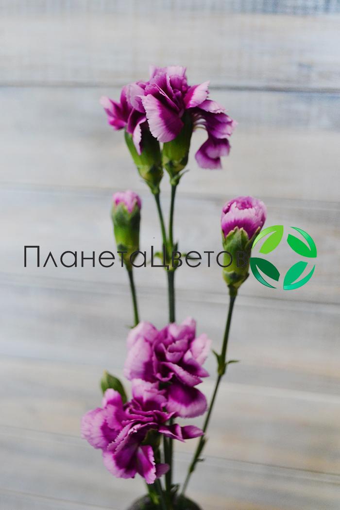 Гвоздика Шабо