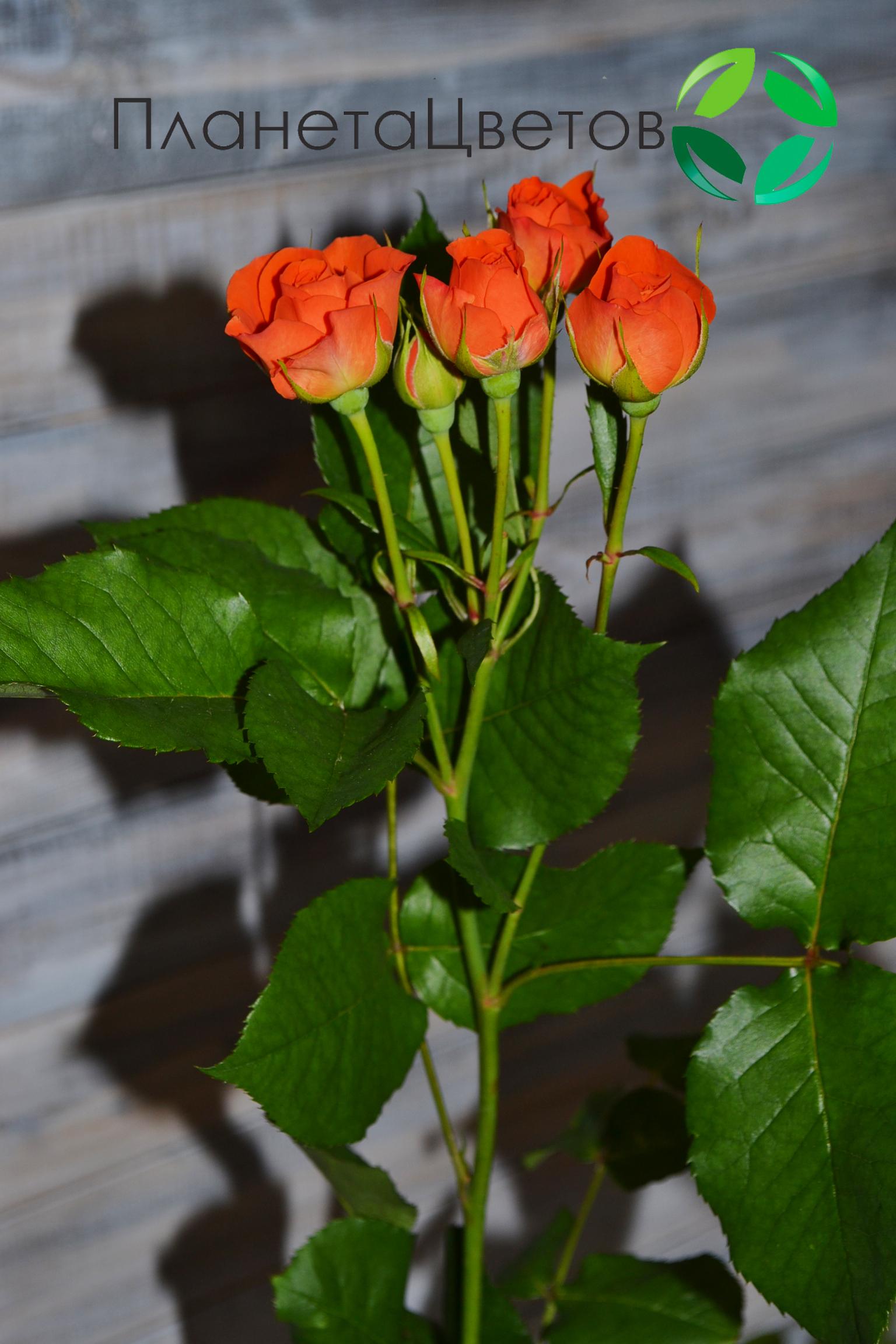 Роза кустовая Бэйби