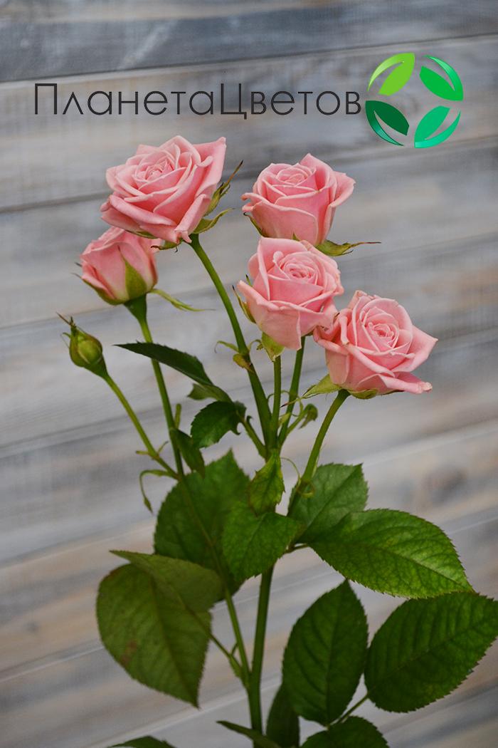 Роза кустовая Одилия