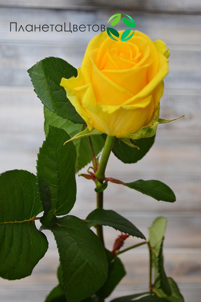 Роза Прада