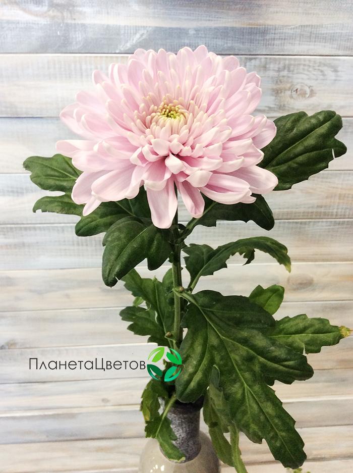 Хризантема одноголовая Алёнка