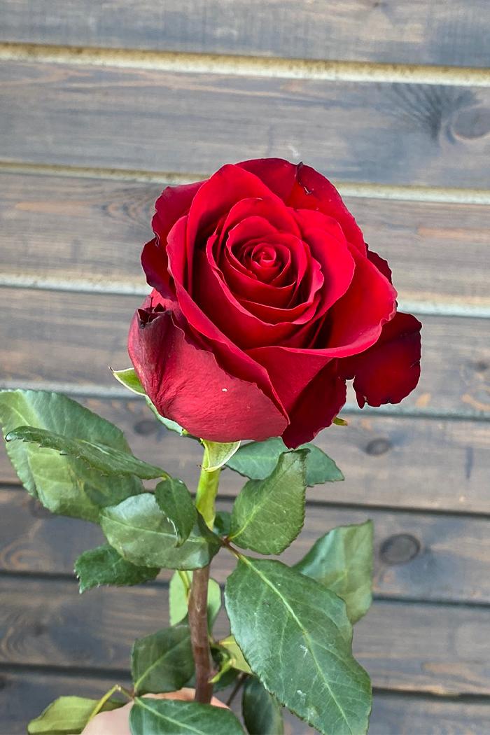 Роза Экспловер