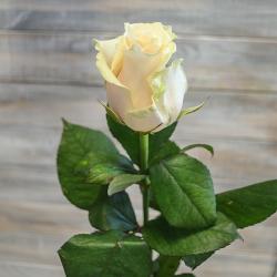 Роза Талео